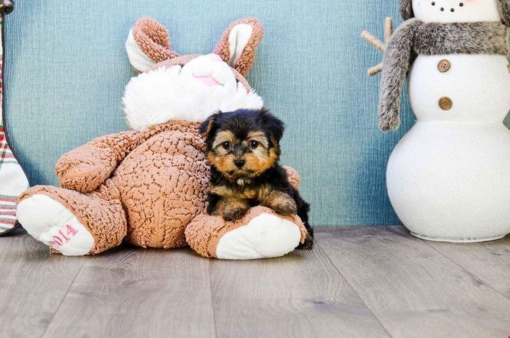 TEACUP YORKIE PUPPY 10 Wochen alter Yorkshire Terrier