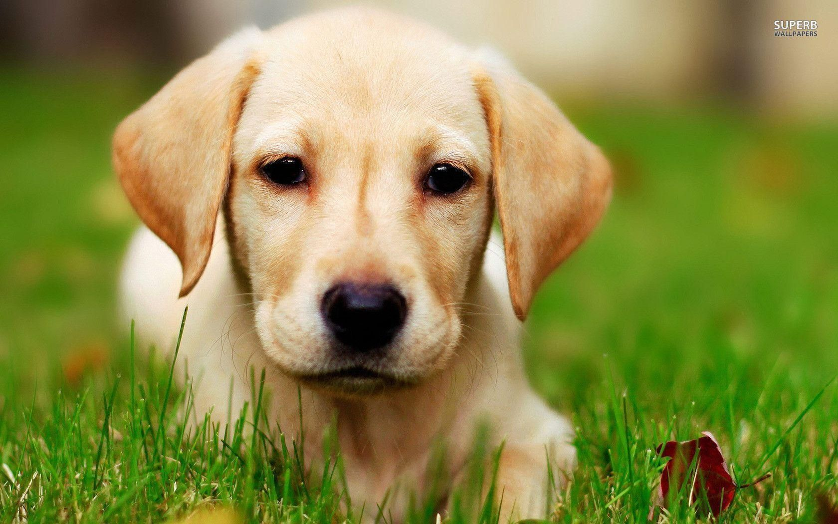 Labrador Dog Hd Wallpapers And Backgrounds 29 Http Www Urdunewtrend Com Hd Wallpapers Animal Labrador Dog Labrador Dog Labrador Retrievers Hunde Labrador