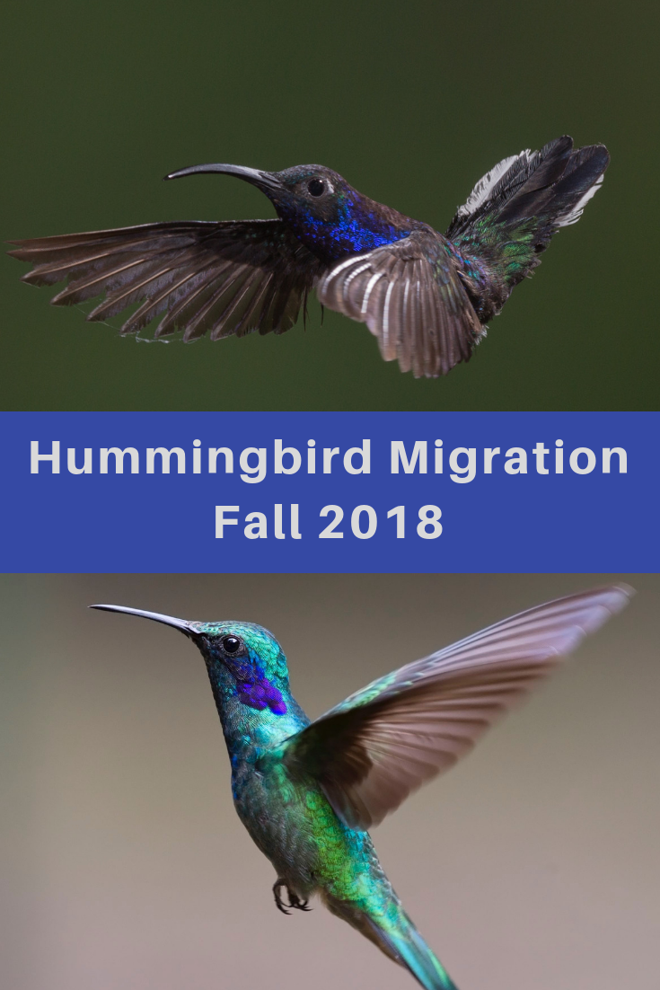 Hummingbird Migration Fall 2018. Sightings for Fall 2018