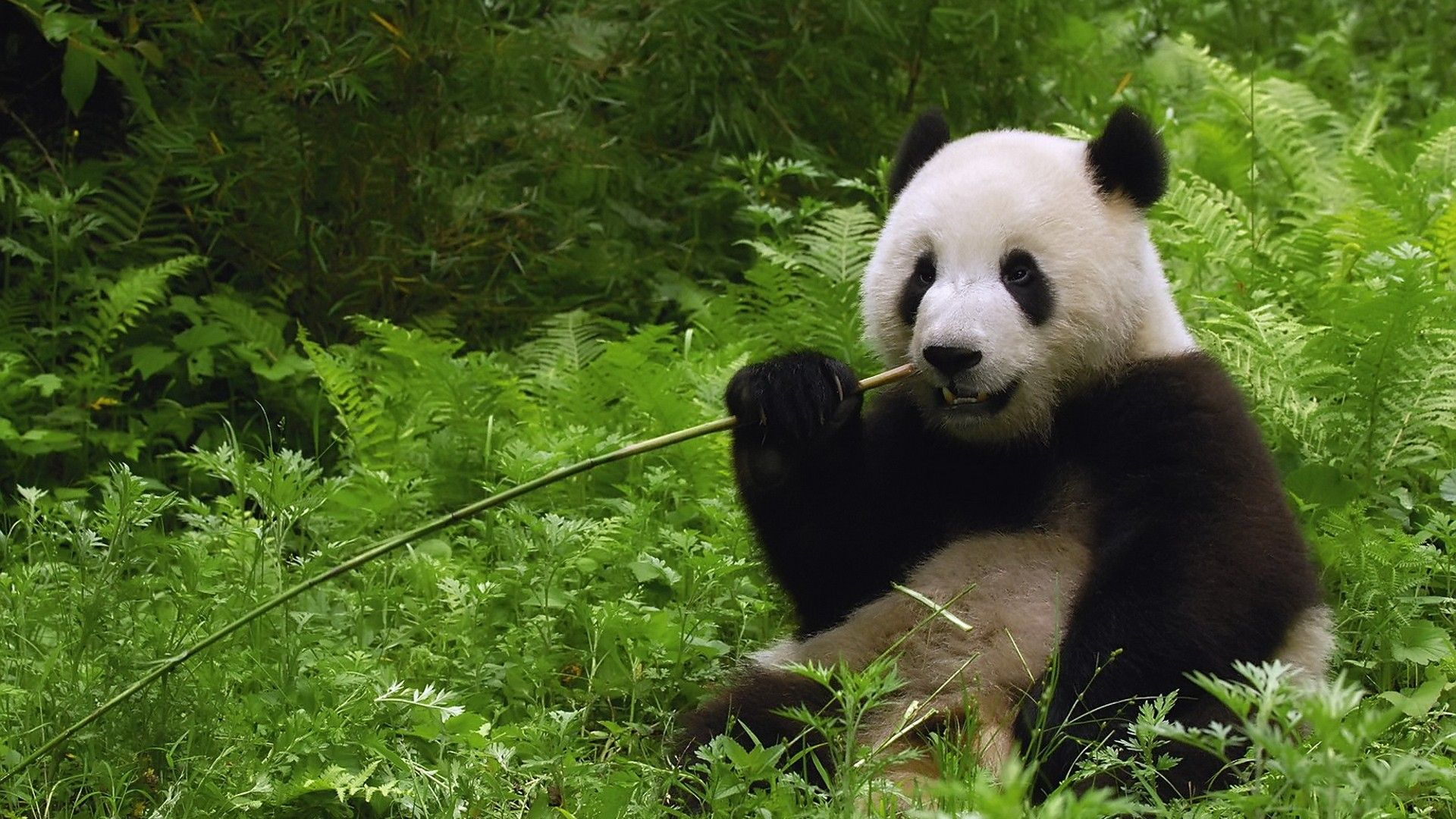 Nature Animals Wallpapers Nature Animals Hd Wallpapers Chainimage Panda Bear Panda Wallpapers Panda