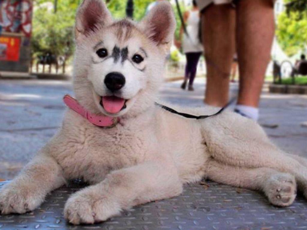 Unique looking husky | Husky, Siberian husky puppies, Puppies