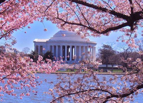 washington dc cherry blossom 2020