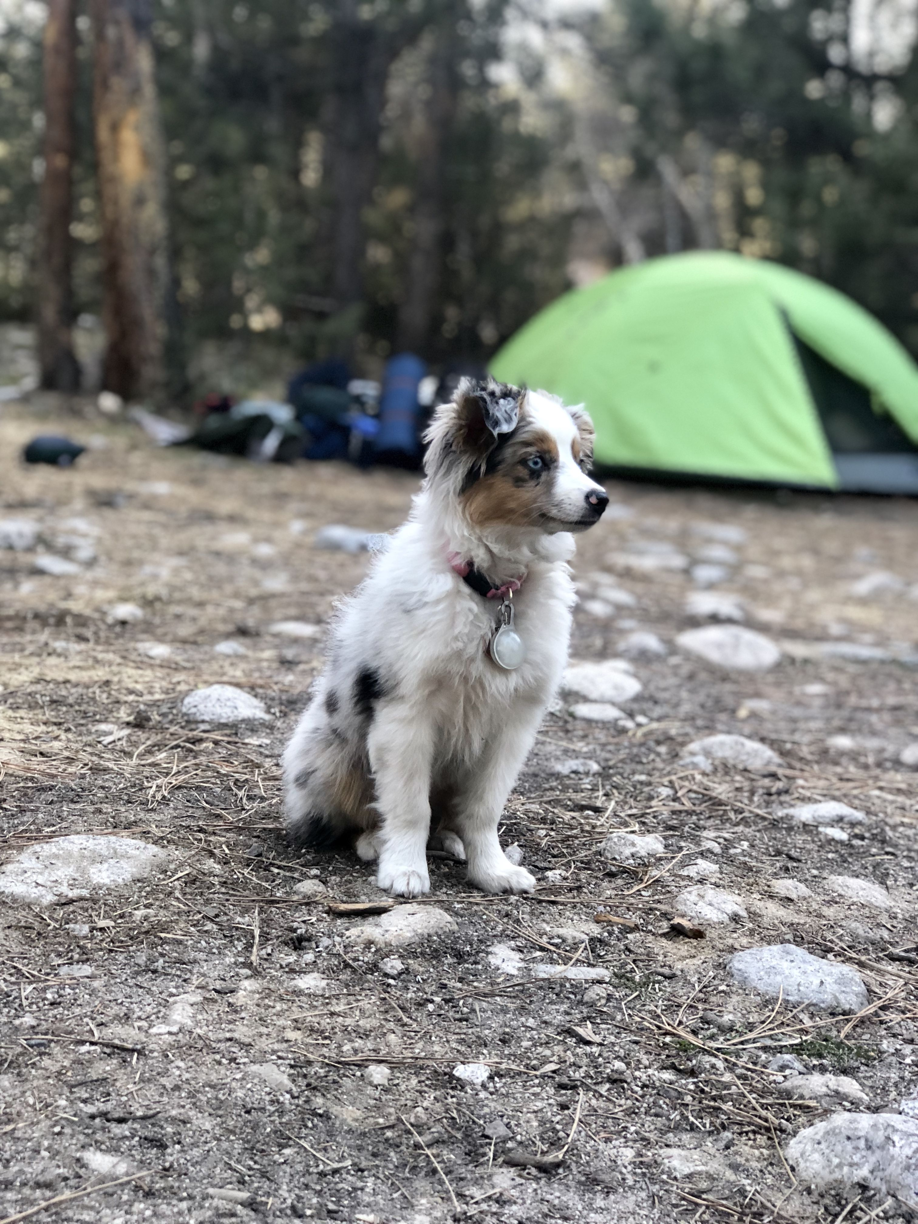 Mini Australian Shepherd Camping Chien Animaux