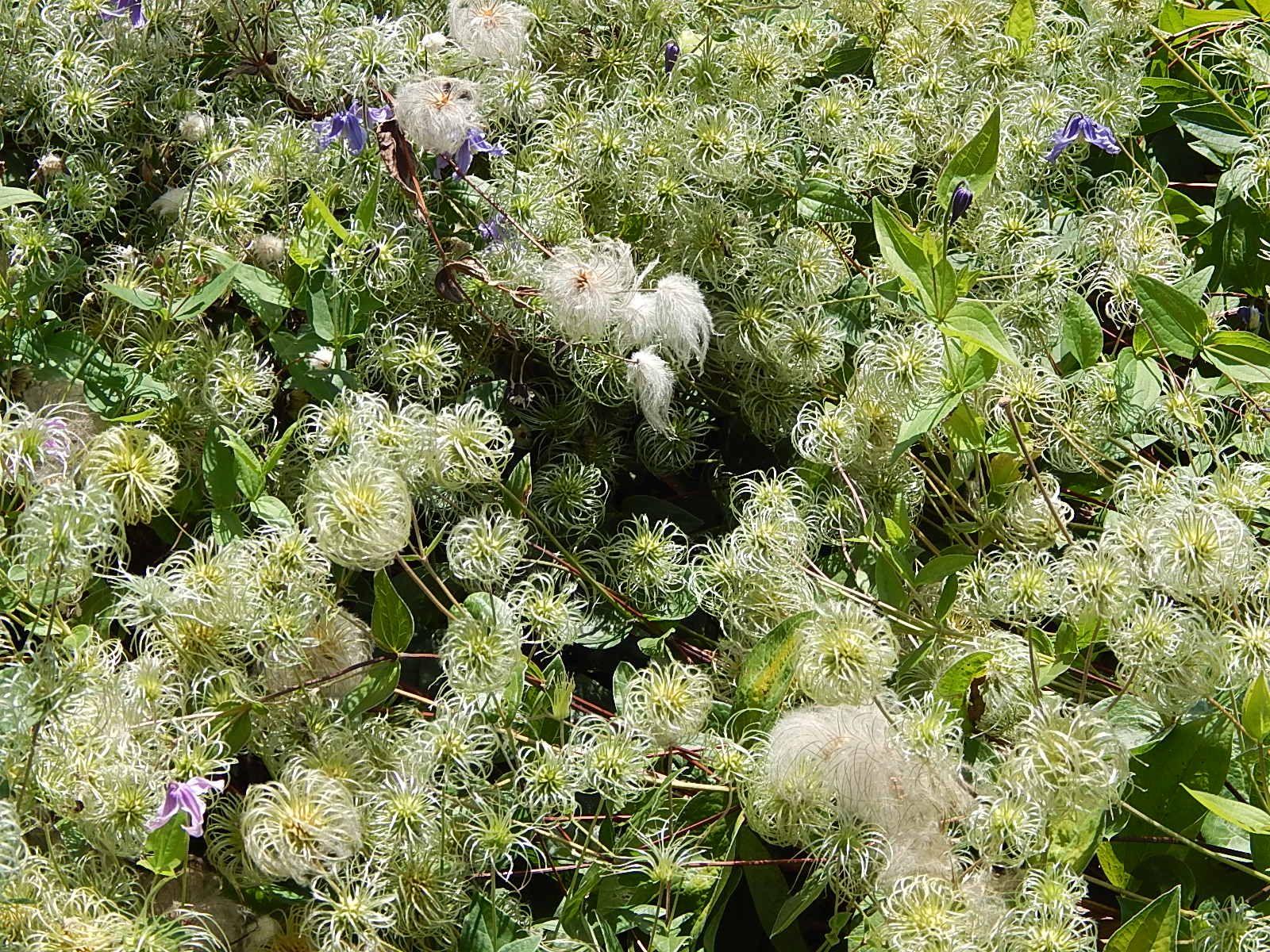 Clematis dreamy dreamy maxwell arboretum unl flower essences