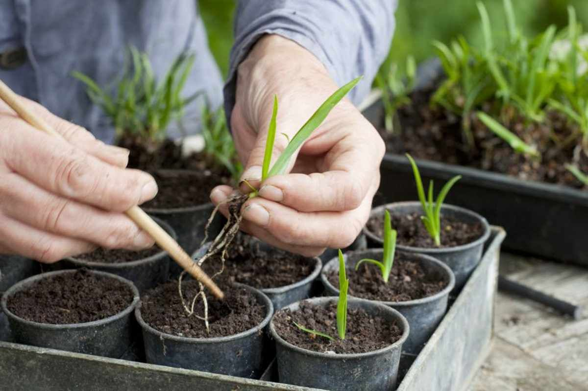 How To Grow Agapanthus From Seed Agapanthus Plant Cuttings Agapanthus In Pots