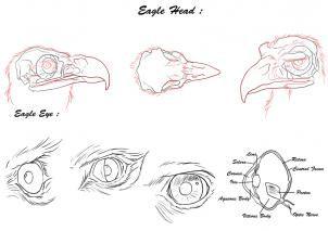 eagle anatomy  szukaj w google  projekty do wypróbowania