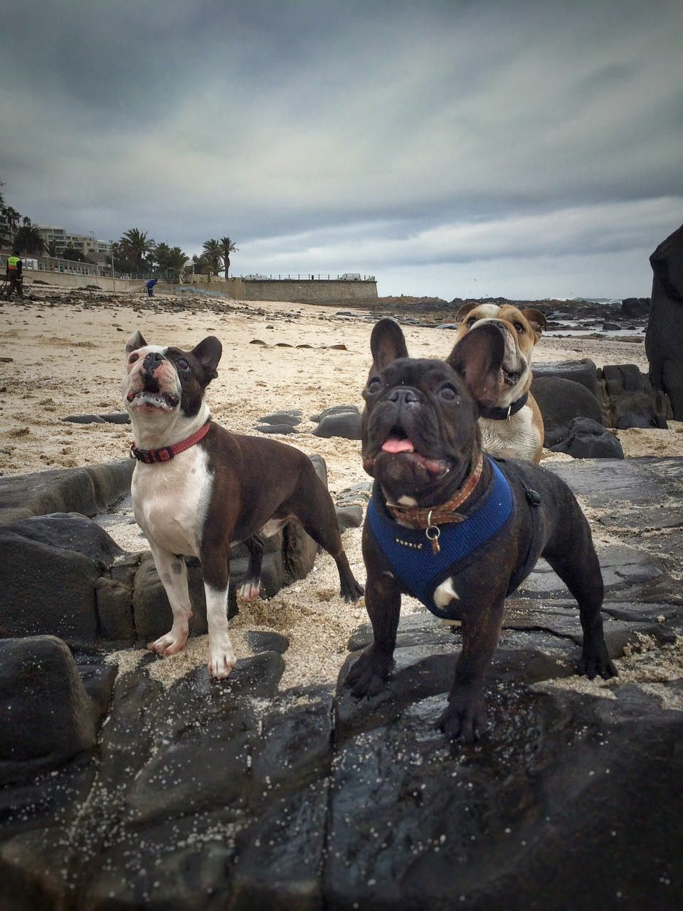 Cape Town Beach Frenchbulldog French Bulldog Animals Dogs