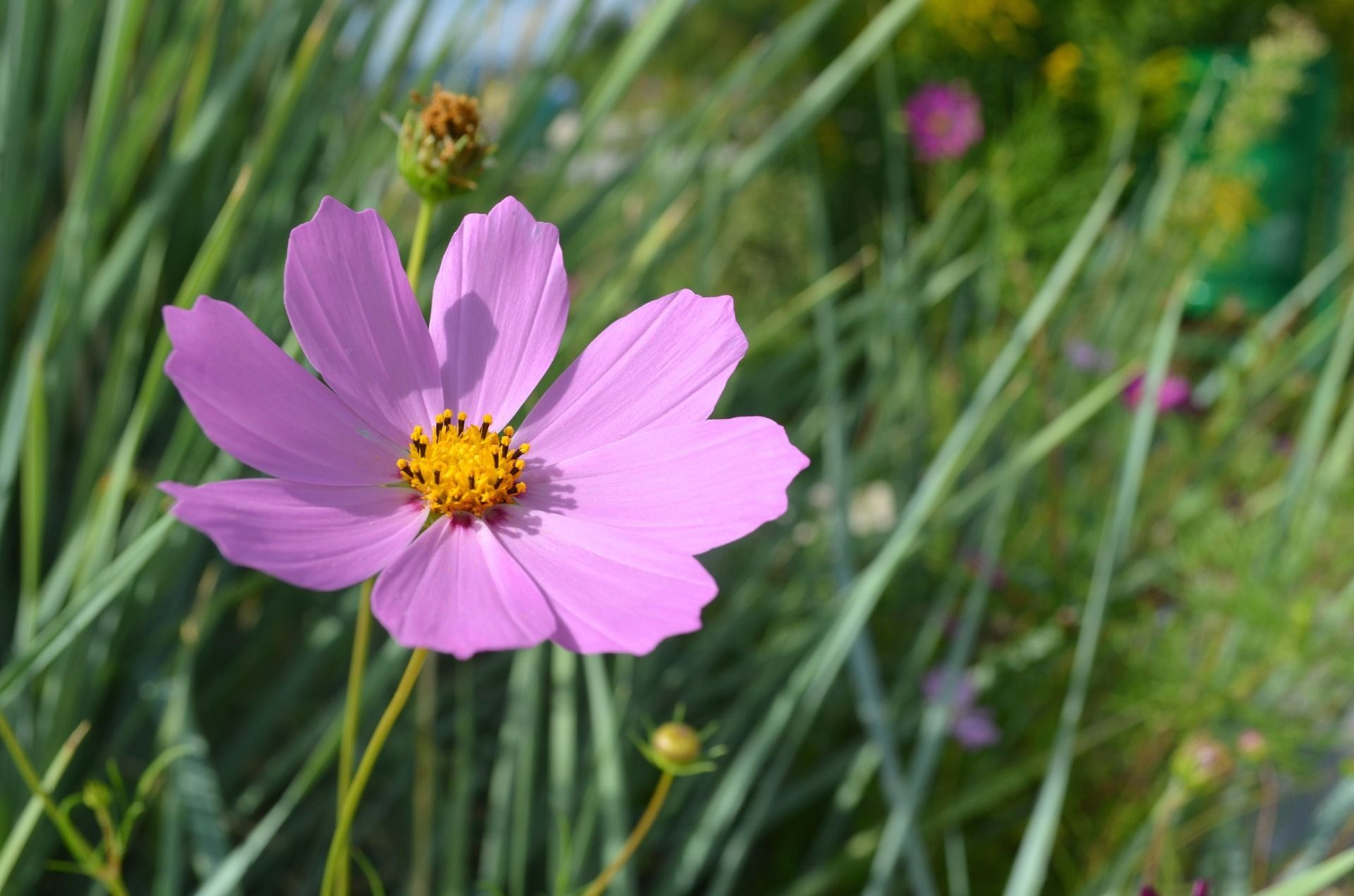 Cosmos cosmos flowers plants and flowers