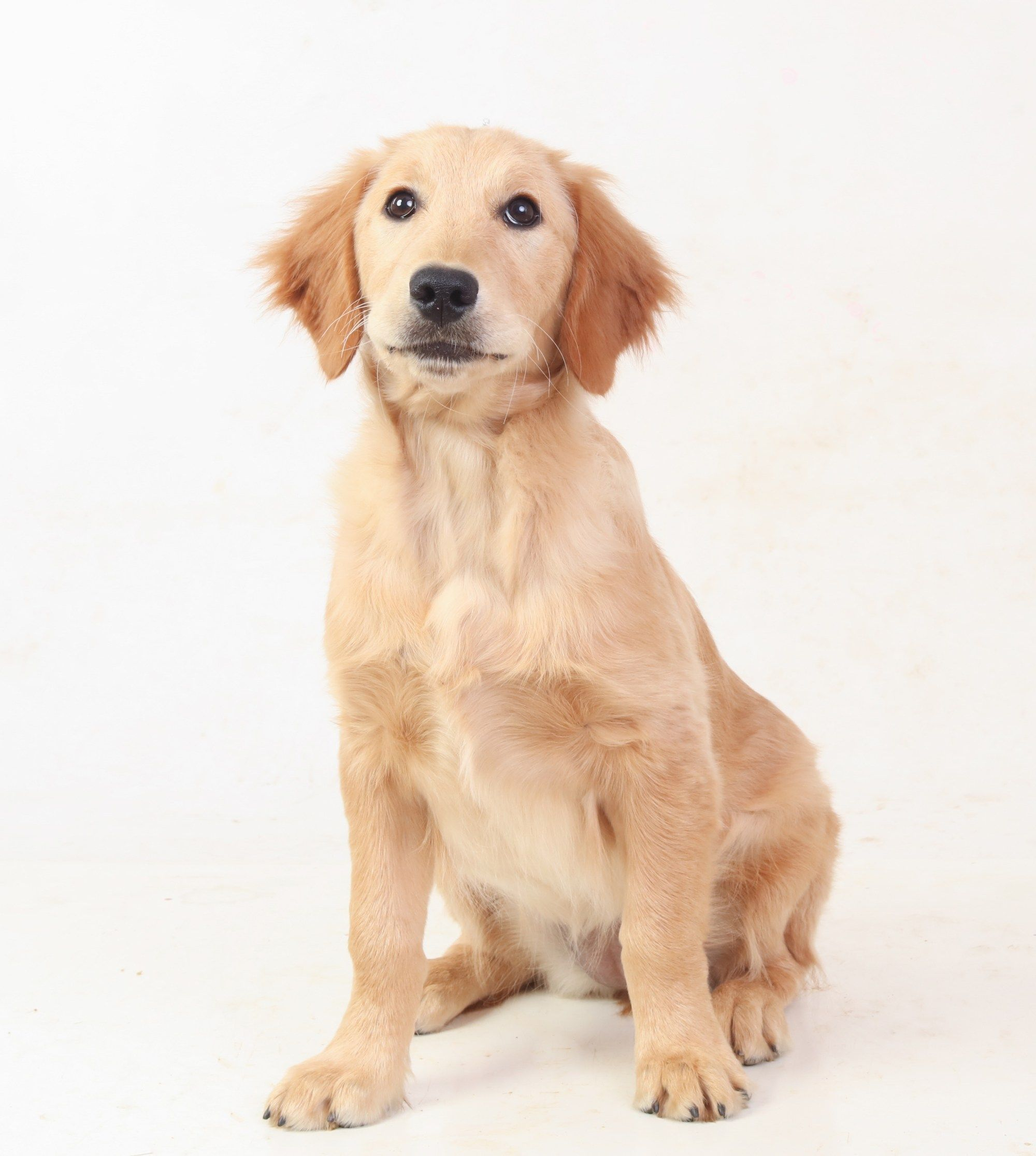 Breeding Guardian Dogs Miniature Golden Retriever Comfort Retriever Golden Retriever