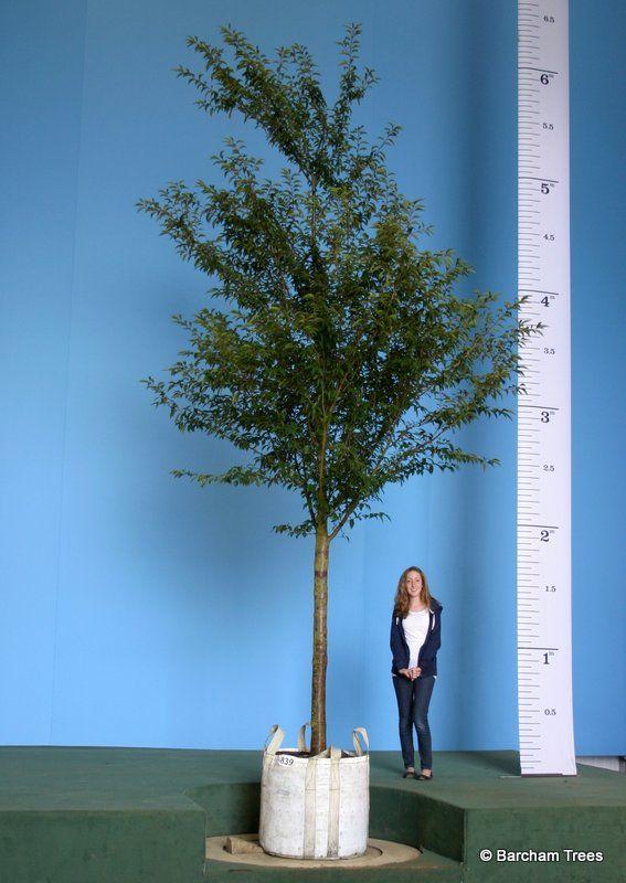 Instant Prunus pandora 5.5m+ tall http://www.buythetreeyousee.com/trees/buy-flowering-cherry-prunus-pandora-instant