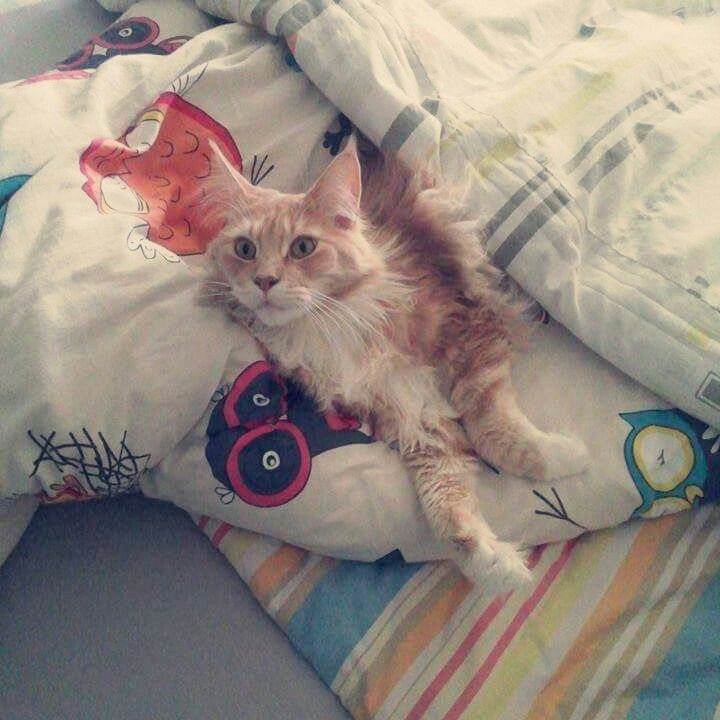 Cats MaineCoon Relax