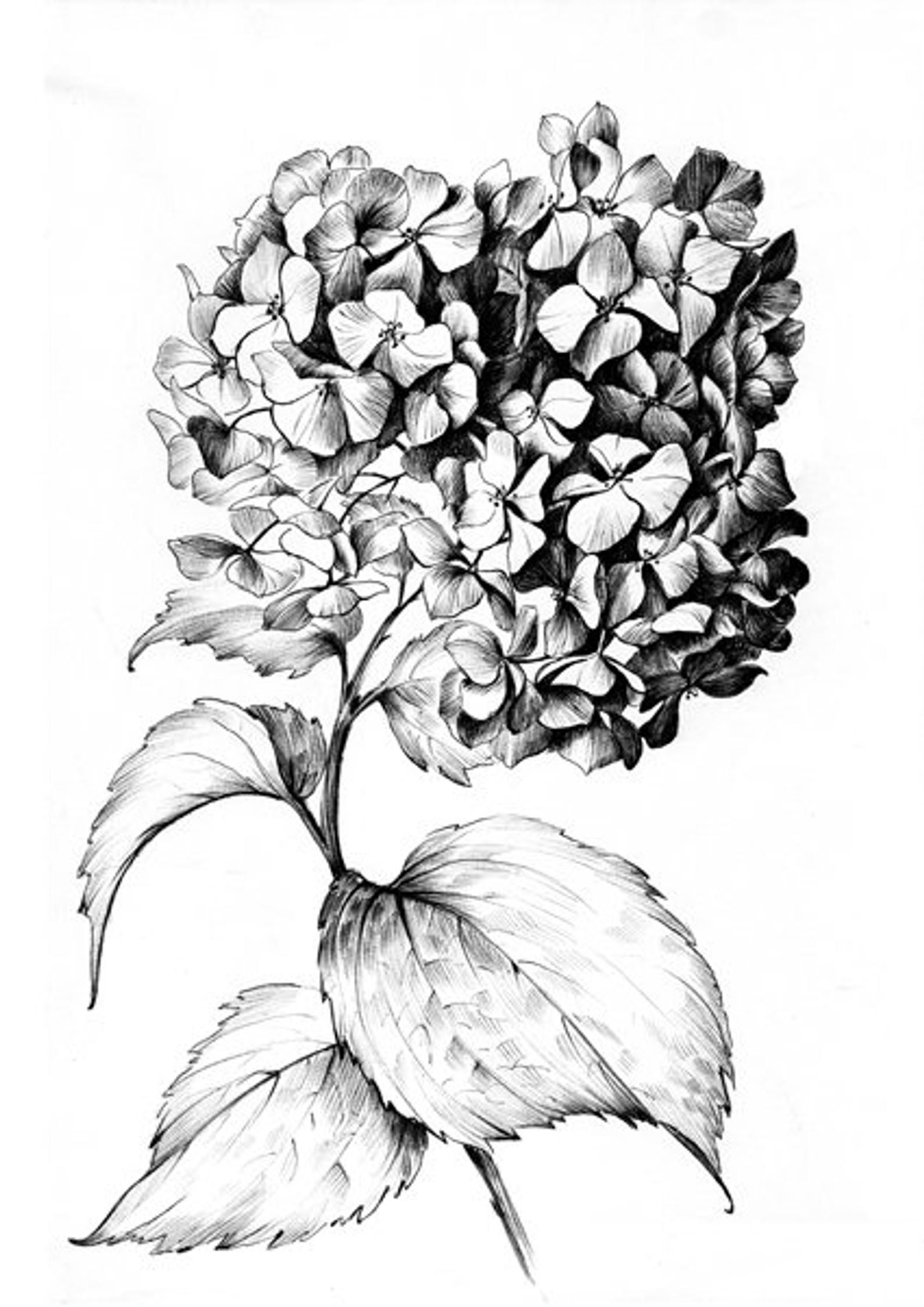 Hydrangea Sketch Large Print Flower Line Drawing Botanical Etsy Flower Line Drawings Flower Sketches Realistic Flower Drawing