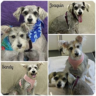 Schnauzer Miniature Mix Dogs For Adoption In Forked River New Jersey Sandy And Joaquin Abandoned Bonded Schnauzers A Dog Adoption Adoption Forked River