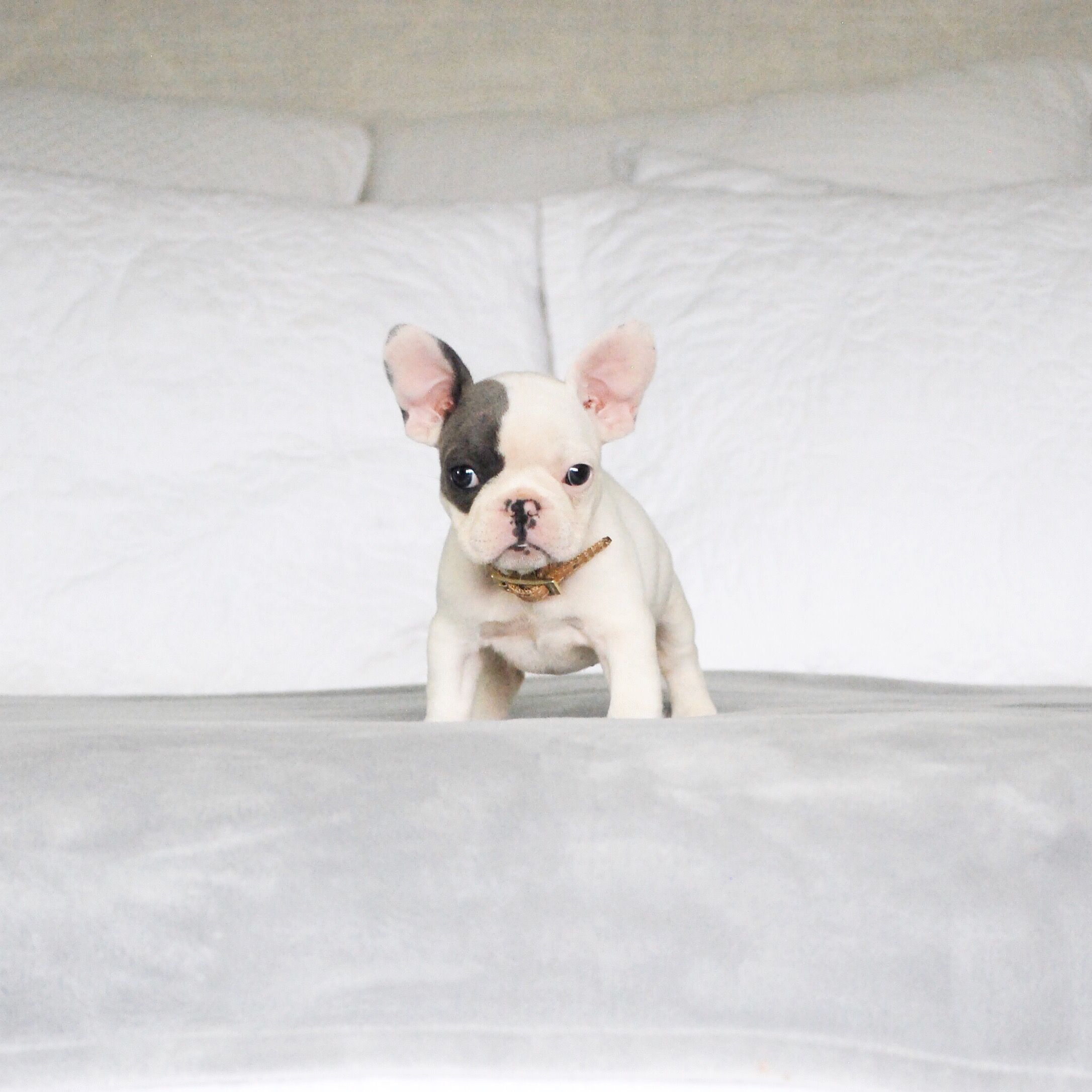 French Bulldog Puppy Blue Pied Frenchie Kittens And Puppies Cute Baby Puppies Cute Animals