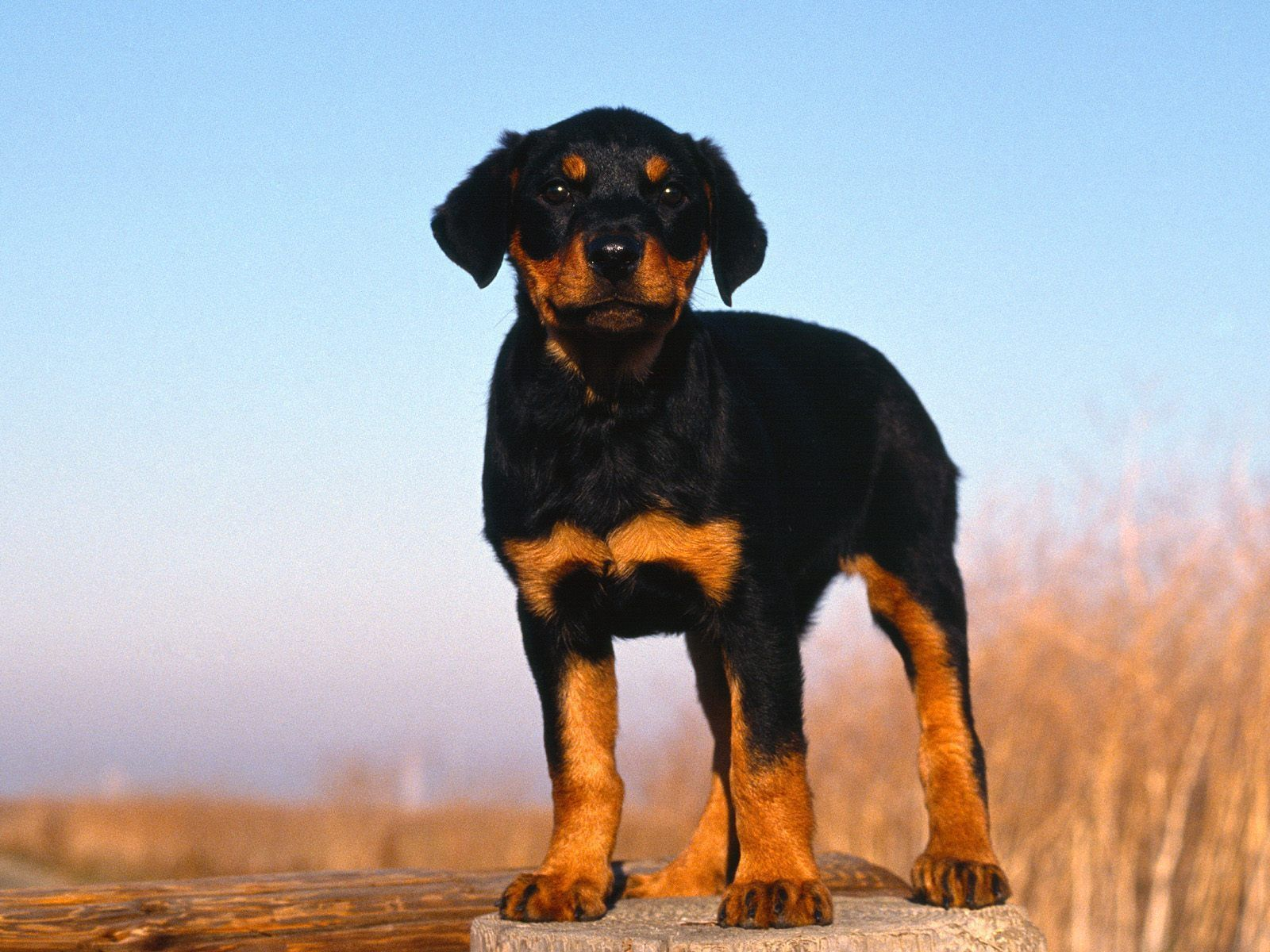 Wellpets Rottweilers Are Individuals And Their Personalities