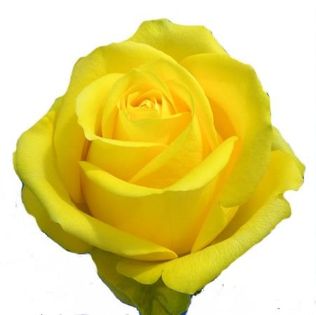 Latina Yellow Rose Yellow Roses Rose Wholesale Roses