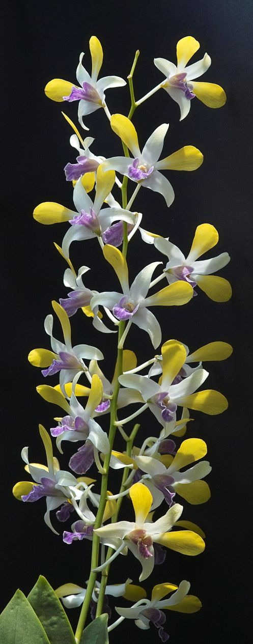 Dendrobium Unknown Name Orchid Flower Unusual Flowers Beautiful Orchids