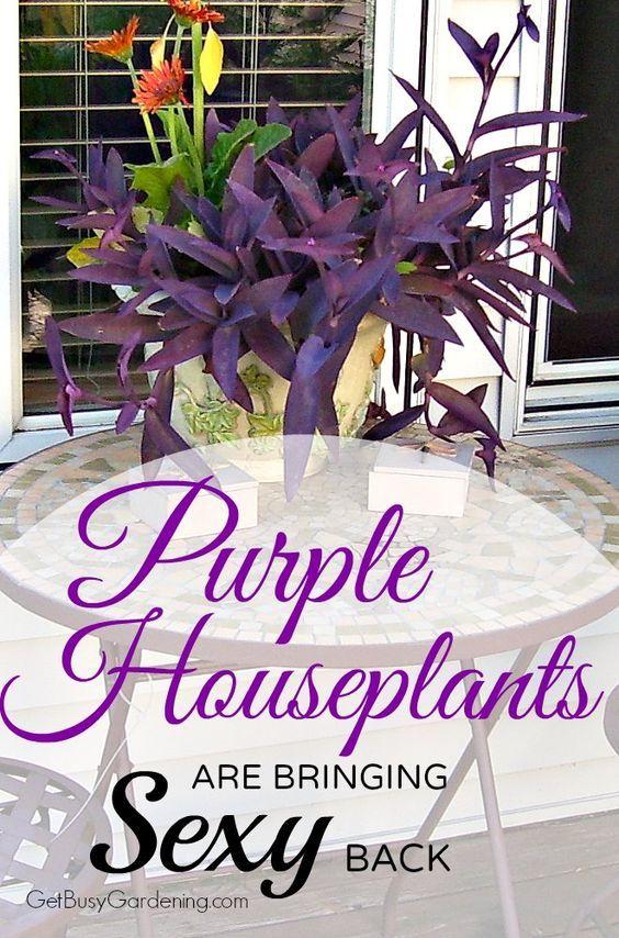 Purple indoor plants