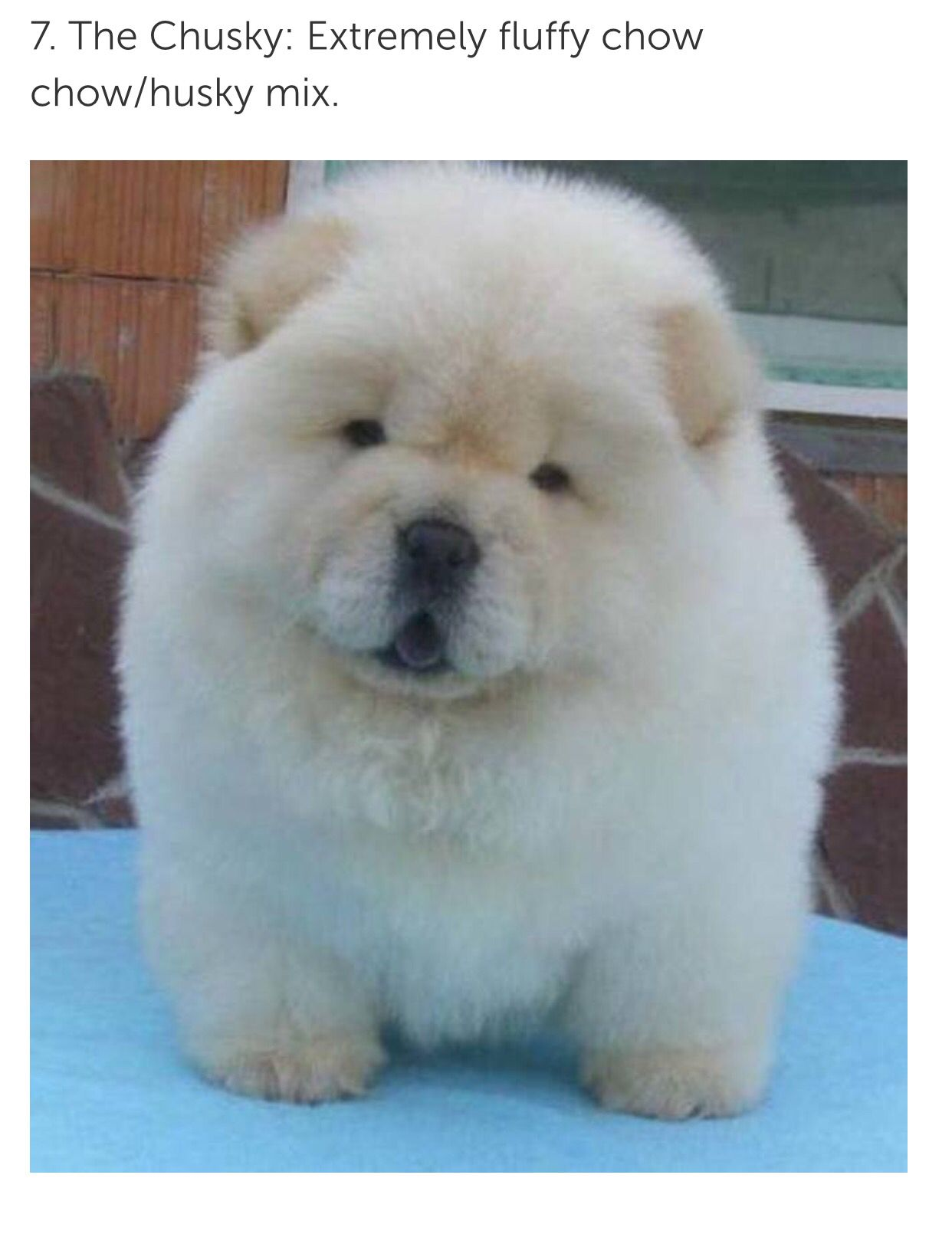 Chusky Chow Chow Puppy Cute Dogs Cute Baby Animals