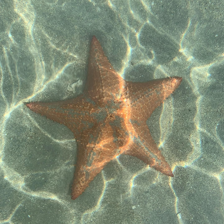 Seestern am Playa Estrella in Panama 🌟🌎 . . #playaestrella #seestern #starfishbeach #panama #reisenmachtglücklich #reisenistschön #reiseblogger_de #travelpanama #unterwasserwelt #sealife #meeresrauschen #panamareise #underwater #bocasdeldrago #estrella