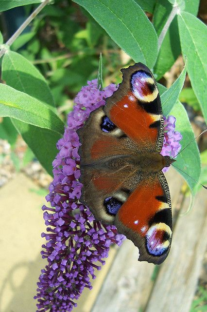 Peacock butterfly by Twoshoes3, via Flickr