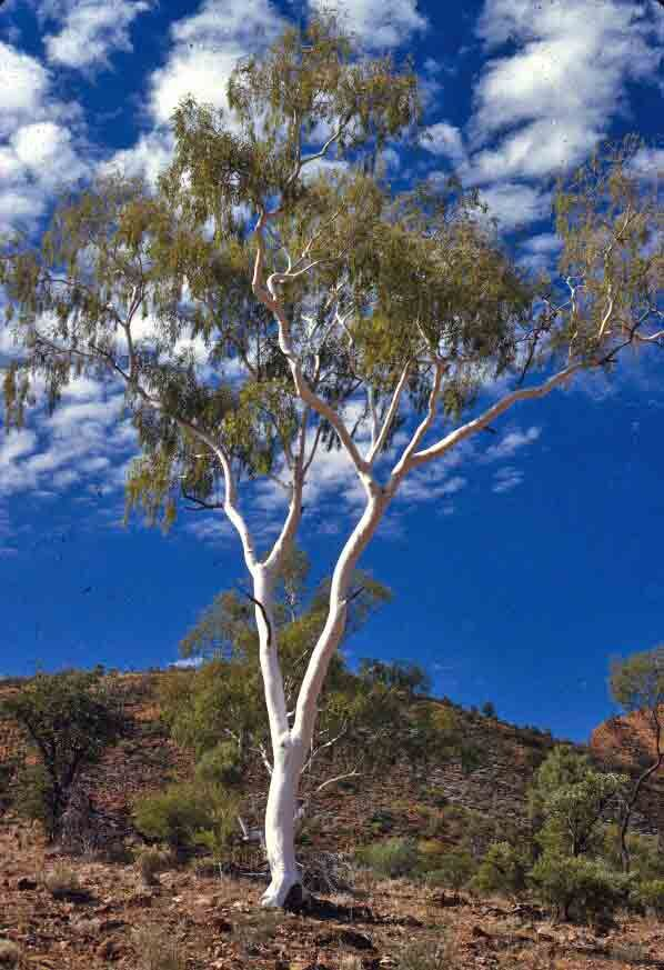 Ghost Gum Australian Trees Eucalyptus Tree Australian Native Plants