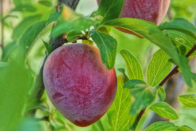 Santa rosa plum tree care trees plum tree and tree care