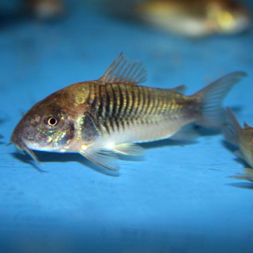Bronze Cory Corydoras Aeneus That Fish Place Freshwater Aquarium Fish Small Catfish Fish