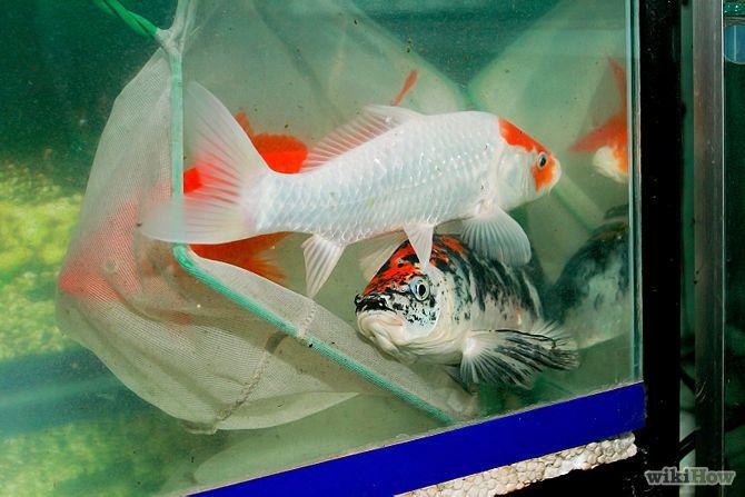 criar peces koi peces de acuario pinterest pez koi