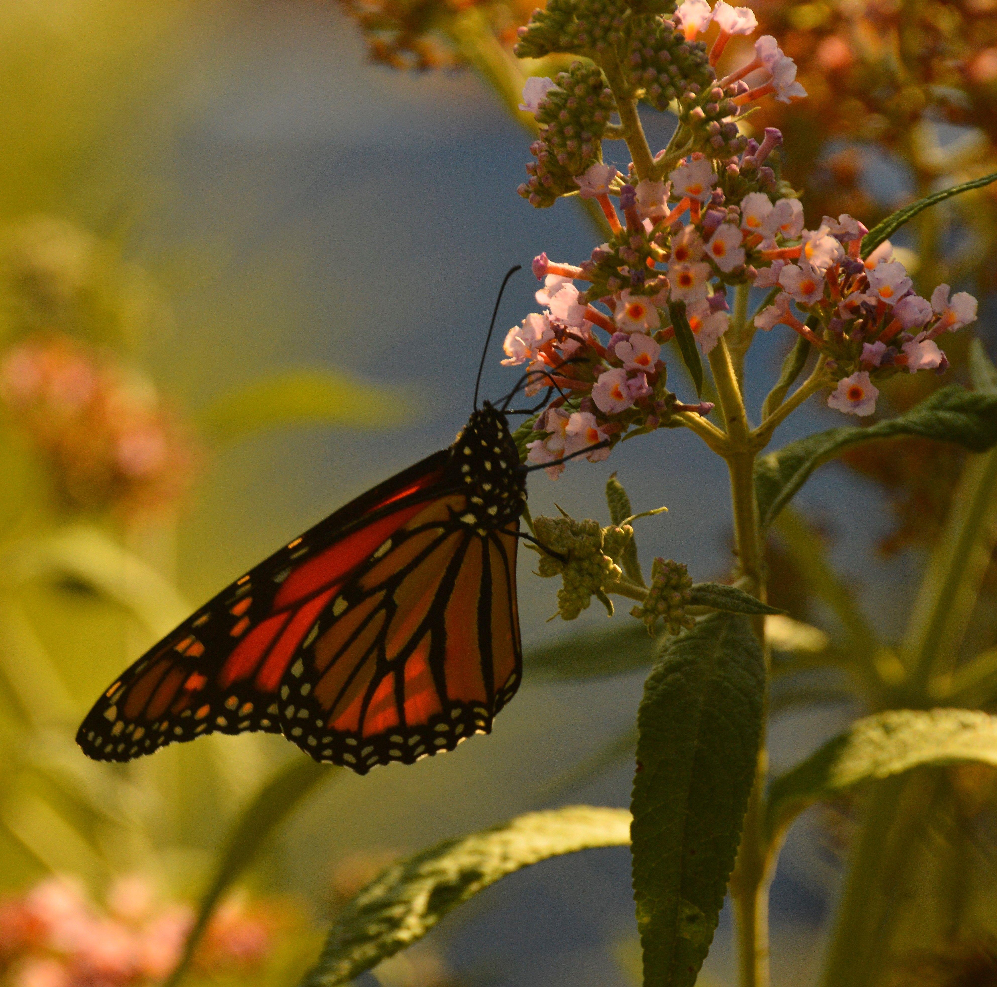 Butterfly Bush W Monarch Butterfly 7 29