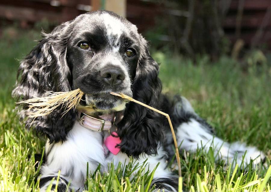 Chewing My Cud Cockerspaniel Hunde