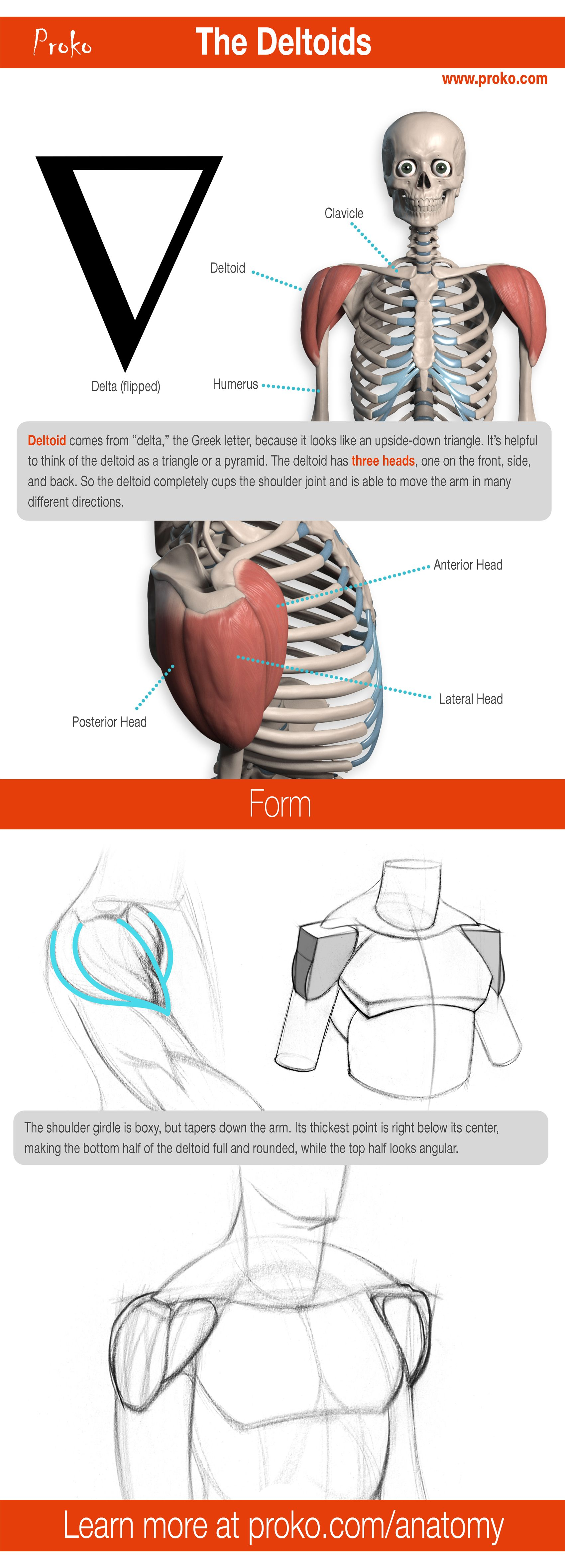 Learn how to draw the deltoids! More anatomy drawing lessons at proko.com/anatomy