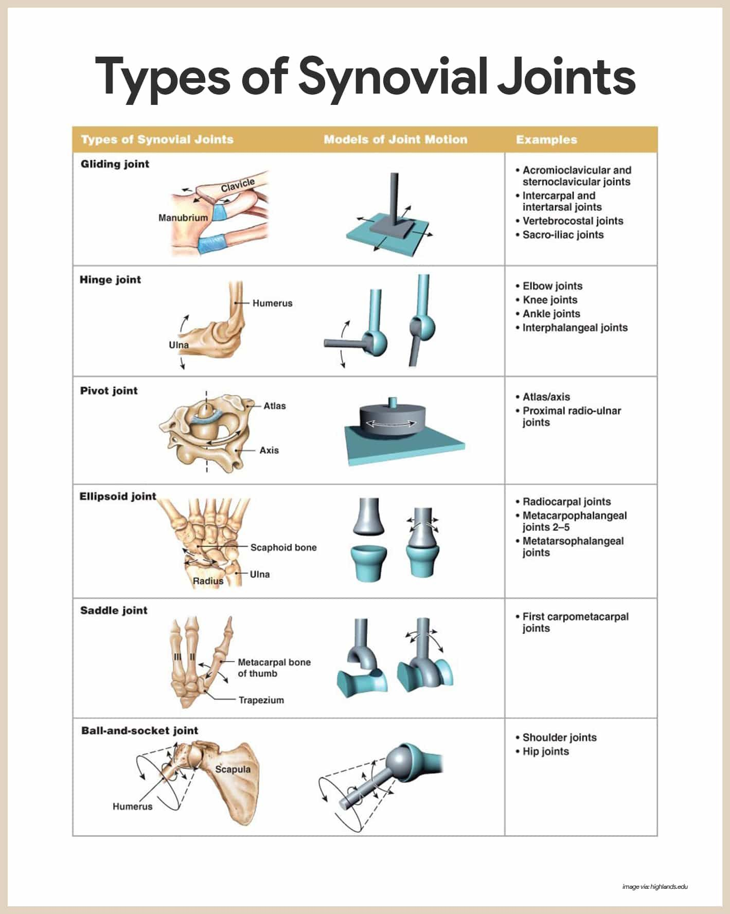 skeletal system anatomy and physiology synovial joint