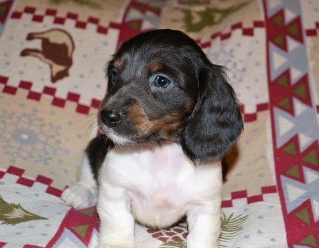 Dachshund Puppy For Sale In Ellijay Ga Adn 22255 On Puppyfinder