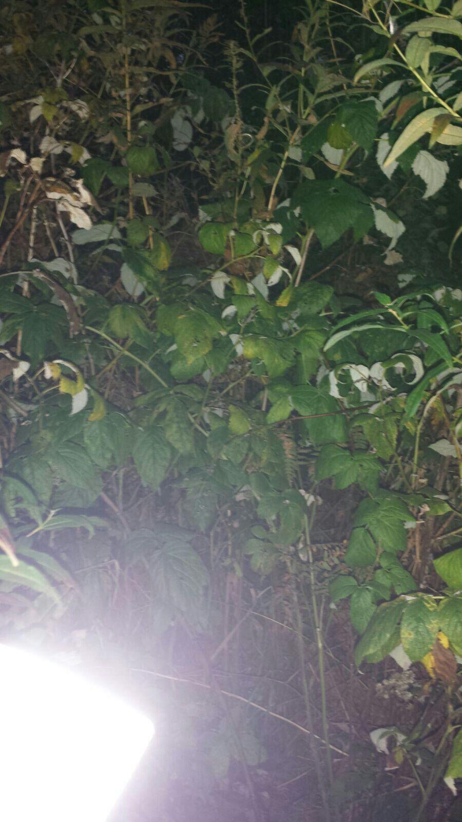 Vadelma (Rubus Ideaus)20.9 Sekametsä