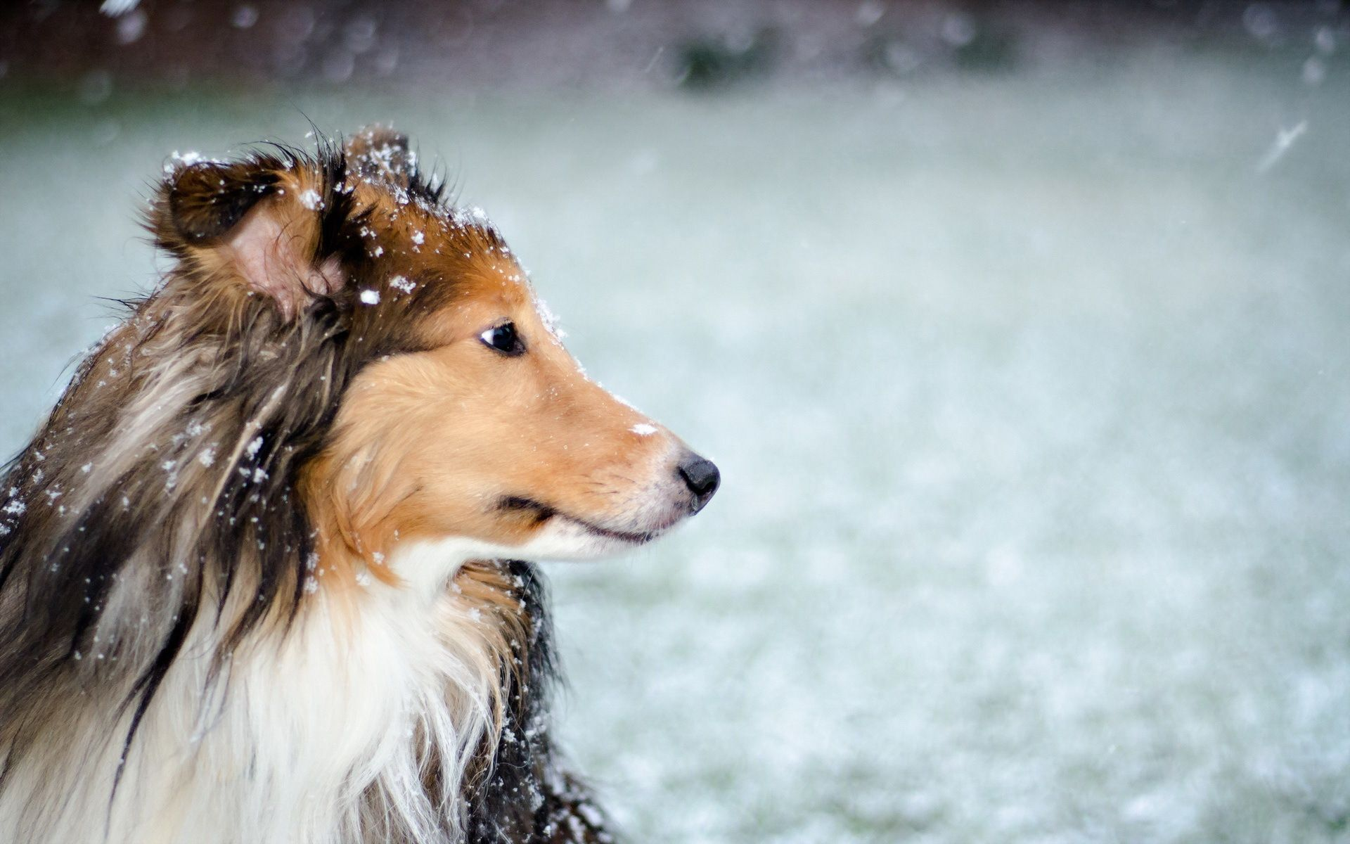 Rough Collie Full Hd Wallpaper And Background