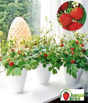 Balkon Fensterbank Erdbeere Fontaine Balkon Pflanzen Pflanzen Erdbeerpflanzen
