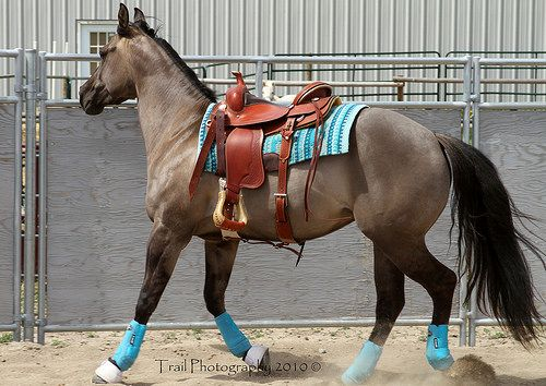 Grulla Quarter Horse (Sage) im seriously loving the blue!                                           That's me if were a horse!