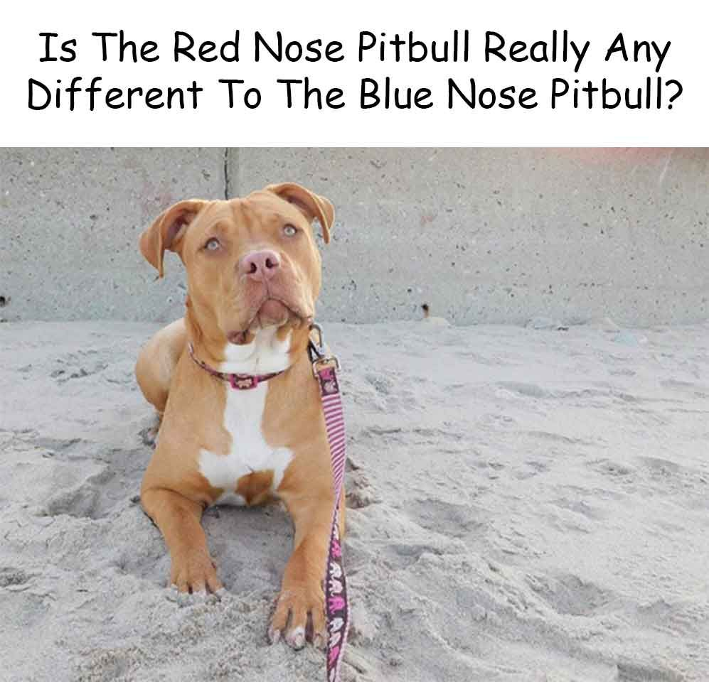 Is The Red Nose Pitbull Really Any Different To The Blue Nose