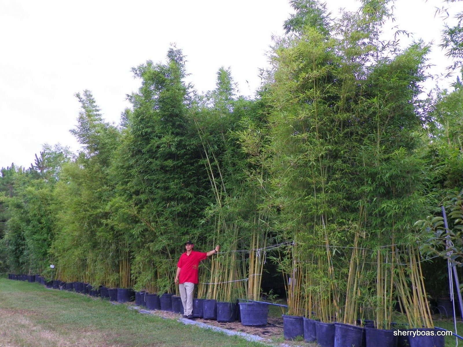 Image Result For Golden Goddess Bamboo 15 Gallon Planted Growing Bamboo Bamboo Hedge Bamboo Containers