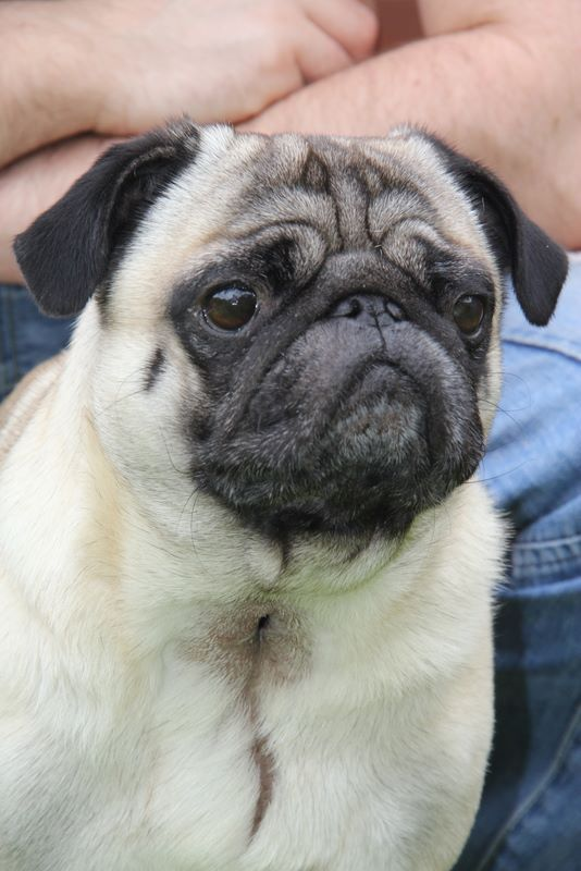 Urgent Call By Vet Profession To Stop Suffering Of Brachycephalic