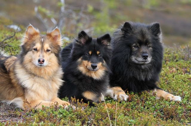 Pentuja Snow Dogs Dog Skin Finnish Lapphund