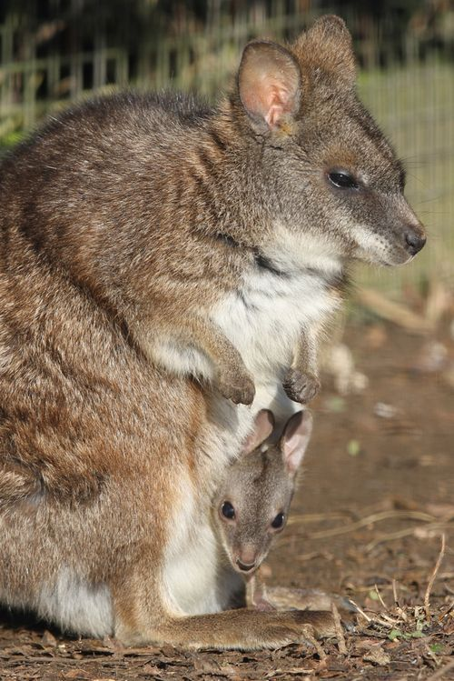 By The End Of The 1800s The Parma Wallaby Was Declared Extinct It Was Not Until 1965 That A Small Surviving Population Was Found On Kawau Baby Animals Australian Animals