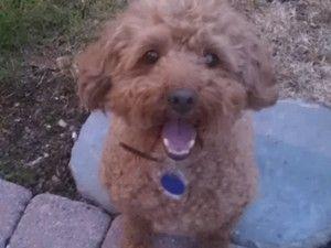 Adopt Winston Cody On Cockapoo Dog Best Dogs Cockapoo
