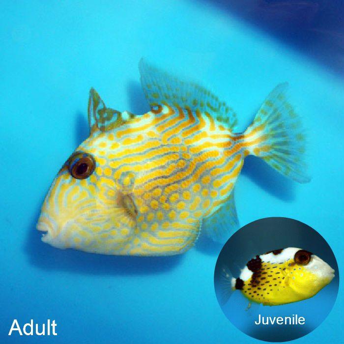 Bluelined Trigger Pseudobalistes Fuscus Thatpetplace Com Fish Pet Pets Live Fish