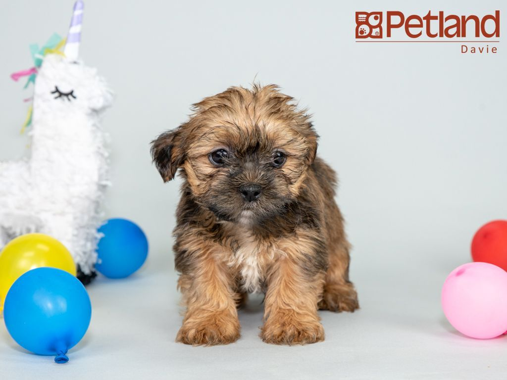 Petland florida has shorkie puppies for sale interested