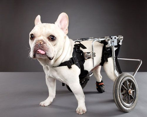 Perfectly Imperfect, French Bulldog with congenital hip issues, refuses to STOP!