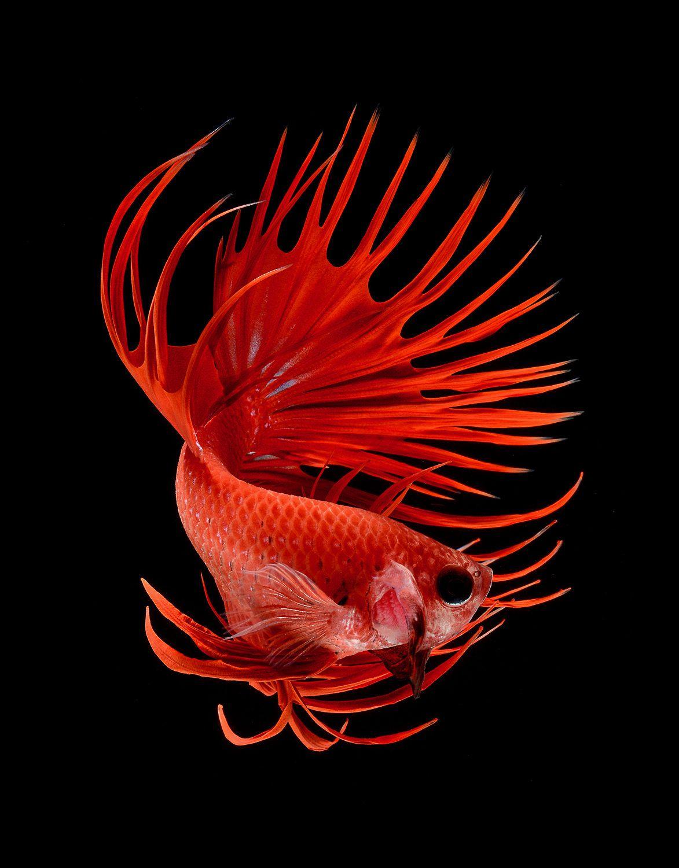 betta fish, siamese fighting fish by Visarute Angkatavanich ...