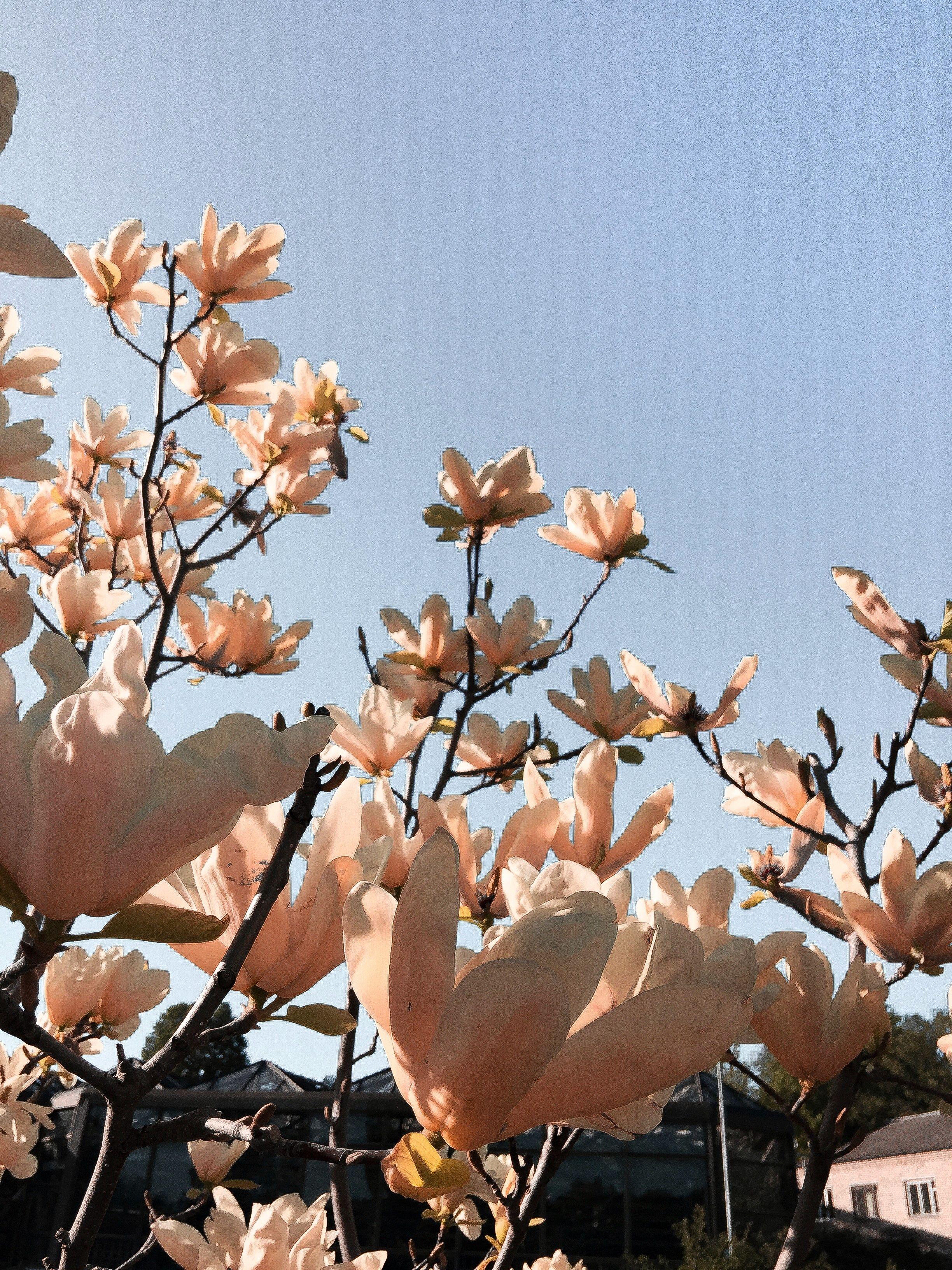#Tree #Flower #Magnolia #Spring #Summer #Nature #Pink #Blue