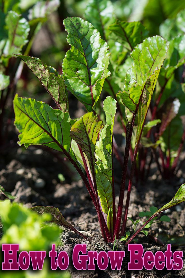 How to grow beets growing beets beets plants